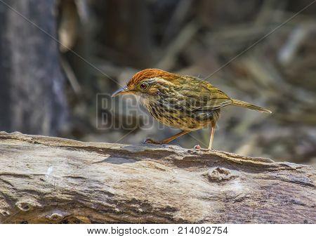 Puff-throated Babbler Pellorneum ruficeps Cute Birds of Thailand