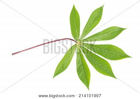 Casava leaf isolated on white background., clipping path included