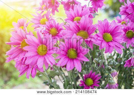 Chrysanthemum flowers with bokeh background in morning light