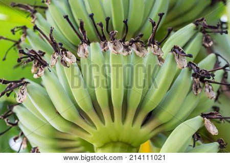 Young Green Banana Fruits On Tree