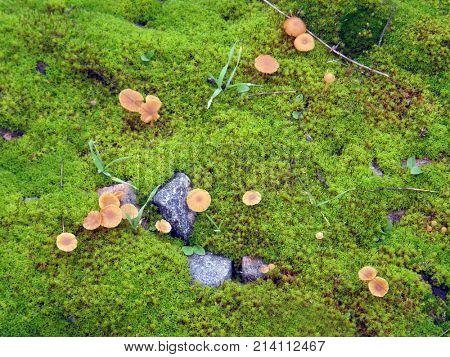 Small mushrooms on green moss.