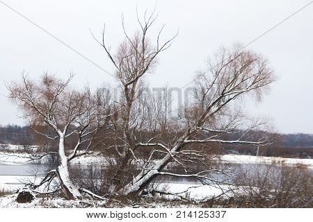 An old willow with dry branches on the snowy shoreold willow with dry branches on the snowy shore of an ice-covered lake in late autumn.