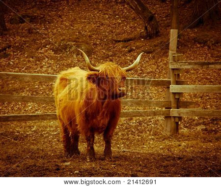 Long horned cow standing alone on a field poster