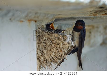 Nest of swallows. The swallows and martins, or Hirundinidae, are a family of passerine birds found around the world on all continents except Antarctica.