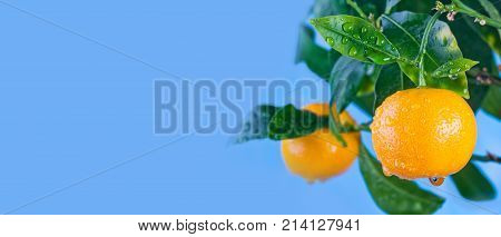 Orange citrus mandarin fruit branch with water drops on green leaves. Summer time garden photo. Blue sky background, sunny day. Copy space, closeup photo.