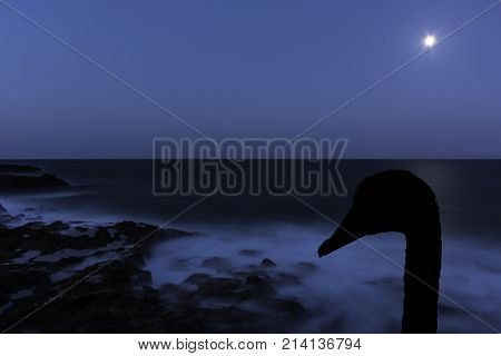 Silhouette of a swan with moon over the ocean - Los Cocoteros, Lanzarote, Canary Islands, Spain
