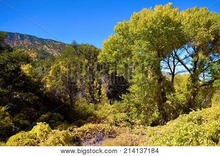 Cottonwood trees and grapevines at a riparian woodland during autumn foliage taken in the San Bernardino Mountains, CA