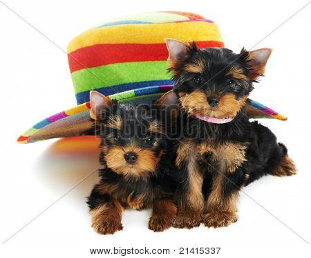 Two little Yorkshire Terrier (3 month) puppies dog under colorful hat isolated over white background