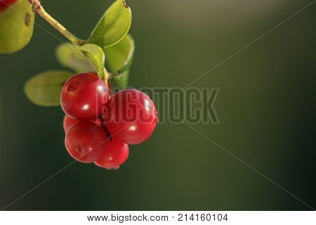 The branches of the forest cowberry isolated on green blurred background. Ripe red lingonberry, partridgeberry, or cowberry. Shallow depth of field.