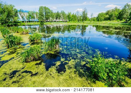 Wetland lake in the city with duckweed and swamp grass trees on the shore. Summer Landscape