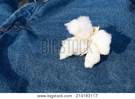 A mature boll of Cotton on blue jean background