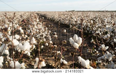 Close up of an opening cotton boll in the field