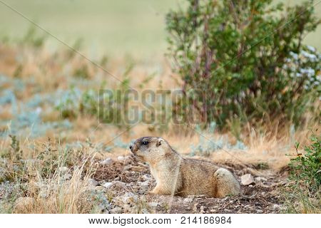 Steppe marmot (Marmota bobak). The bobak marmot, also known as the steppe marmot, is a species of marmot that inhabits the steppes of Eastern Europe and Central Asia.
