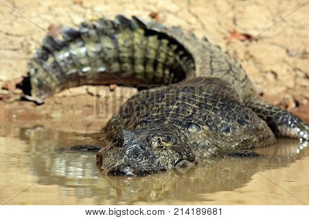 Spectacled Caiman the Water by the River Bank. Rio Claro Pantanal Brazil