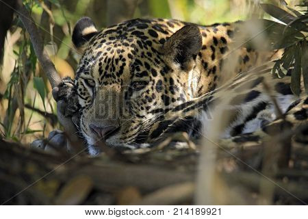 Jaguar Lying on the Ground Looking into the Camera. Pantanal Brazil