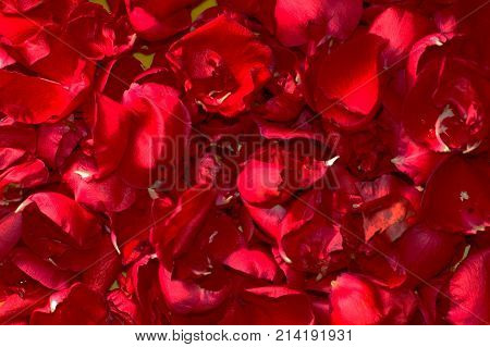Summer floral background of nature-the petals of red roses. Closeup of the petals of red roses.