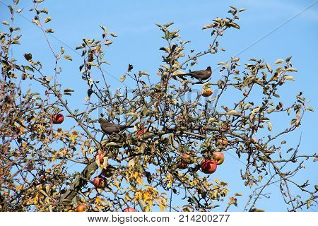 two blackbirds (Turdus merula) eating apples on the apple tree in autumn