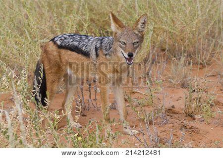 Black Backed Jackal walking in the Kalahari looking for some food