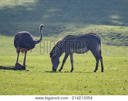 Rhea And Zebra