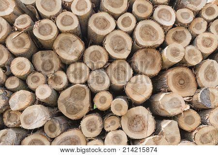 Tree trunk background in the forest cut by the woodman
