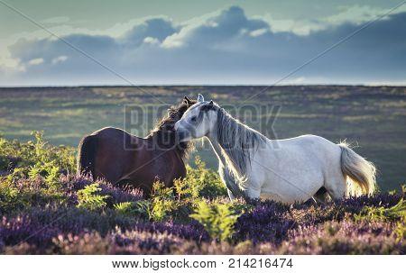 Wild Horses Caressing on Upland Heathland Meadow