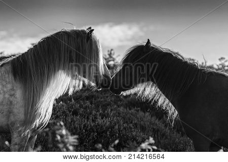 Wild Horses on Upland Heathland Meadow Close Up Black and White