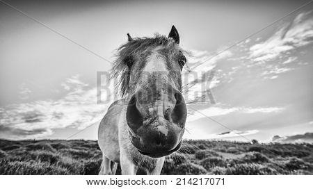 Extreme Close Up Potrait of Wild Pony Black and White