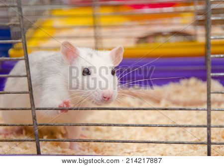 Cute funny laboratory rat looking out of a cage in a laboratory (shallow DOF selective focus on the rat eyes and ears)