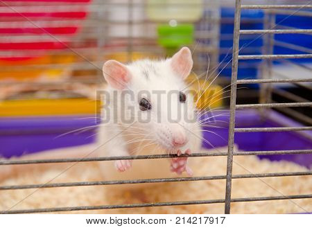 Cute curious laboratory rat looking out of a cage in a laboratory (shallow DOF selective focus on the rat eyes)