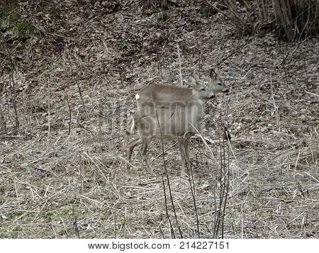 Roe deer in forest , (Capreolus capreolus)