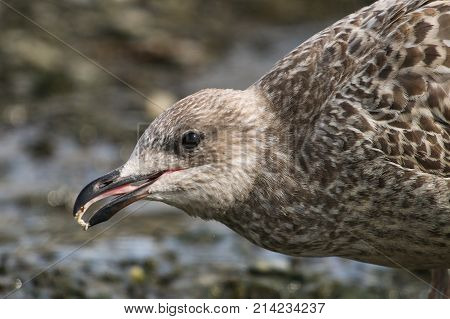 A juvenile Herring Gull with a tiny morsel of food in it's beak