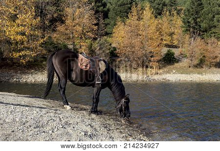 A beautiful, brown horse with a saddle drinks water from the lake on a sunny, autumn day