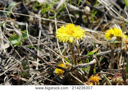 Coltsfoot Flower (tussilago Farfara) On The Meadow