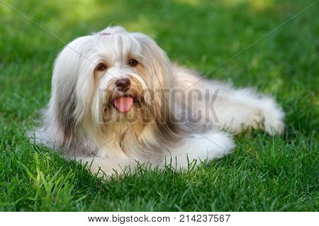 Charming chocolate sable colored havanese dog is lying in the grass - Show Champion