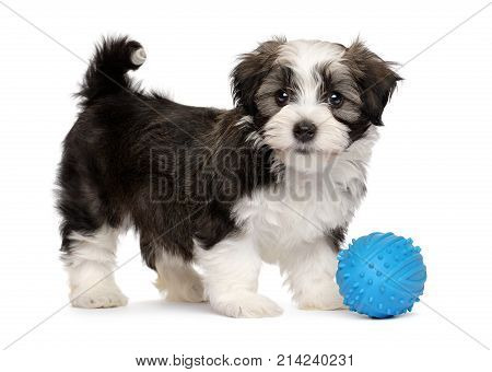 Cute silver sable havanese puppy dog standing with a blue toy ball isolated on white background