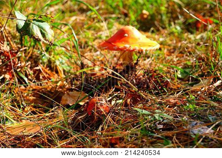 Small mushroom fly agaric in the foreground the background is blurred