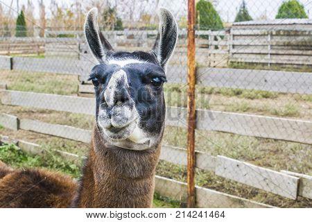 Portrait Of A Llama.