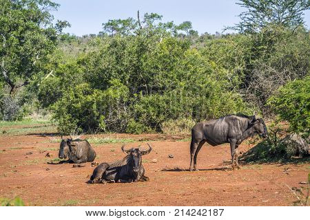 Blue wildebeest in Kruger national park, South Africa  Specie Connochaetes taurinus family of bovidae