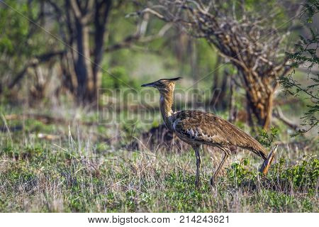 Kori bustard in Kruger national park, South Africa  Specie Ardeotis kori family of Otididae