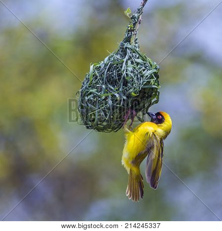 Southern masked weaver in Kruger national park, South Africa  Specie Ploceus velatus family of Ploceidae