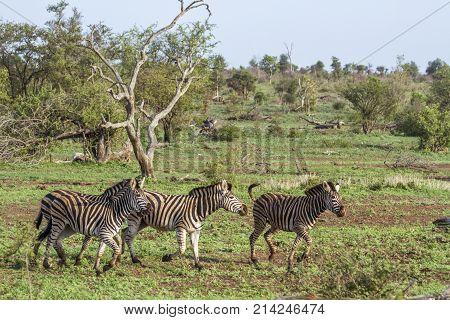 Plains zebra in Kruger national park, South Africa  Specie Equus quagga burchellii family of Equidae