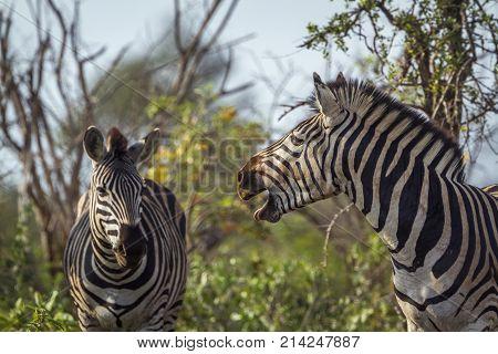 Plains zebra in Kruger national park, South Africa, Specie Equus quagga burchellii family of Equidae