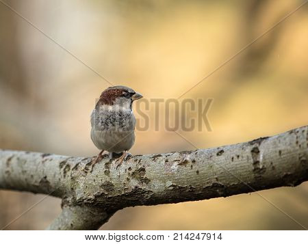 House Sparrow Passer domesticus sitting on a branch with soft golden background