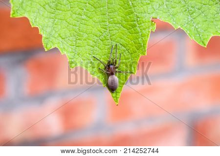 Mizgir. Spider Tarantula. Araneomorphic Spider.