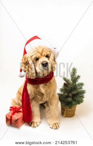 American cocker spaniel with Santa's cap and a red scarf on white background. Dog sits. Gift box and Christmas tree near dog.