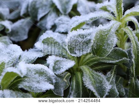 Frosted plant in a garden during winter