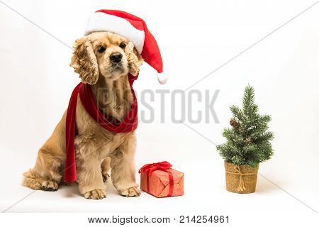 American cocker spaniel with Santa's cap and a red scarf on white background. Gift box and Christmas tree near dog.