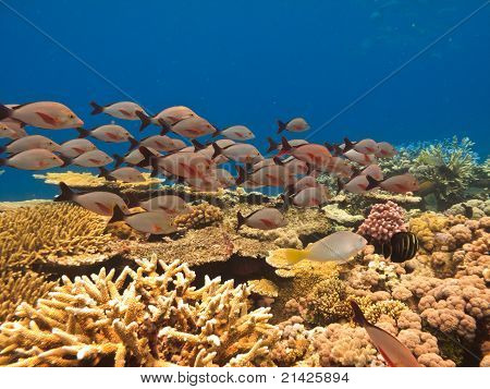 School Of Fish And Coral at Great Barrier Reef Australia