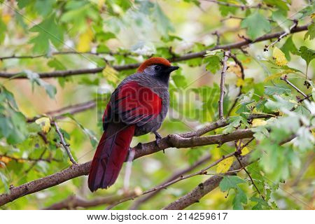 Beautiful Red-tailed Laughingthrush sitting on a branch looking around with space for text.