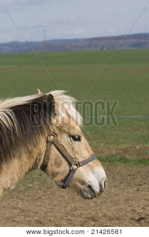 An old small horse